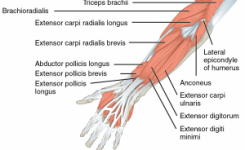 1120_Muscles_that_Move_the_Forearm_Antebrach._Sup._Ext._Sin-300x204